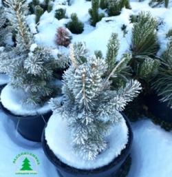 Новогодние елки в горшках