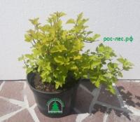 Пузыреплодник калинолистный Лютеус (Physocarpus opulifolius Luteus) - от 150 руб.