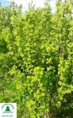 Акация желтая (карагана древовидная) от 300 руб.