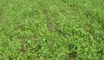 Сеянцы березы бородавчатой (обыкновенной) 3 руб. 50 коп.