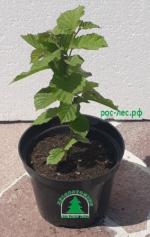 Лещина (орешник-фундук) зеленая от 220 руб.