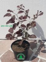 Лещина (орешник-фундук) красная  от 1 300 руб.